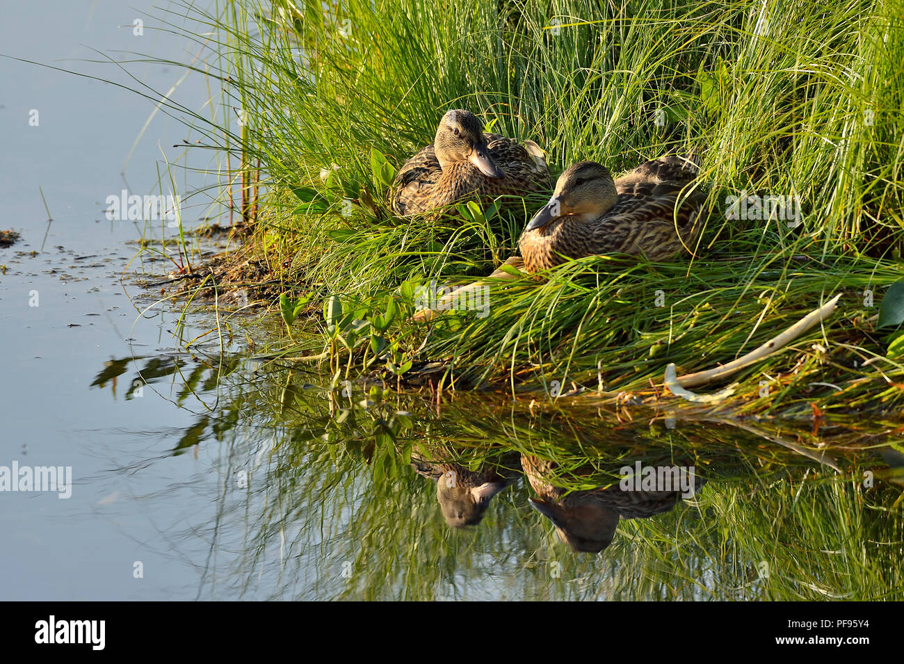 Two female mallard ducks (Anas platyrhynchos),sitting in the tall marsh grass at the edge of a calm lake in rural Alberta Canada. - Stock Image