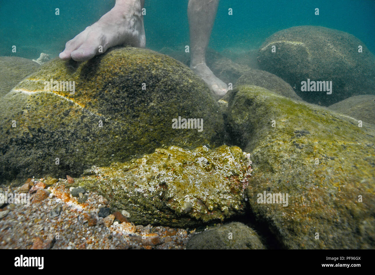 Reef stonefish or real stonefish (Synanceia verrucosa), the world's most venomous fish at shallow water next to human feet, Ari Atoll, Maledive island - Stock Image
