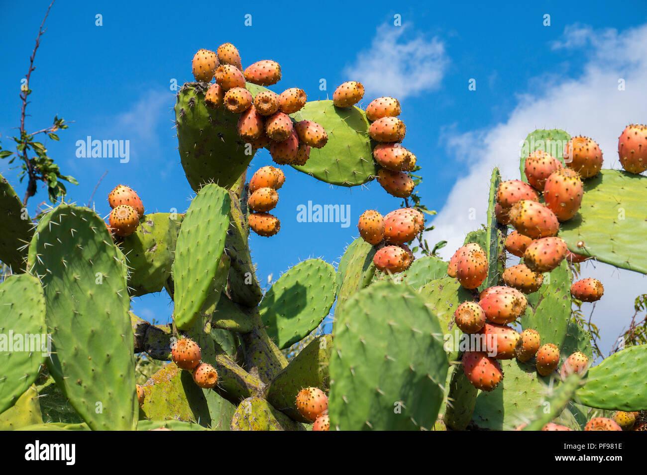 Cactus pears (Opuntia ficus-indica) with orange ferns, province Olbia-Tempio, Gallura, Sardinia, Italy - Stock Image
