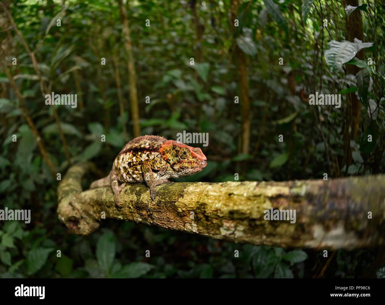 Short-horned chameleon (Calumma brevicorne) on branch, rainforest, eastern Madagascar, Madagascar - Stock Image