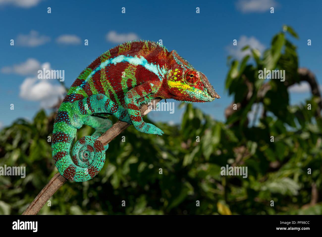 Panther chameleon (Furcifer pardalis) in the dry forest of Ambanja, north-western Madagascar, Madagascar - Stock Image