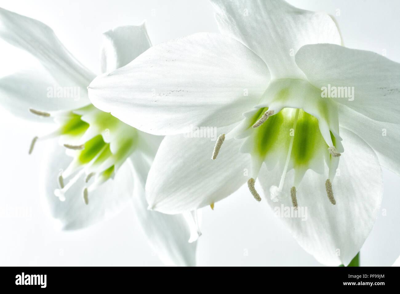 Amazon Lily Eucharis Grandiflora Stock Photo 215949404 Alamy