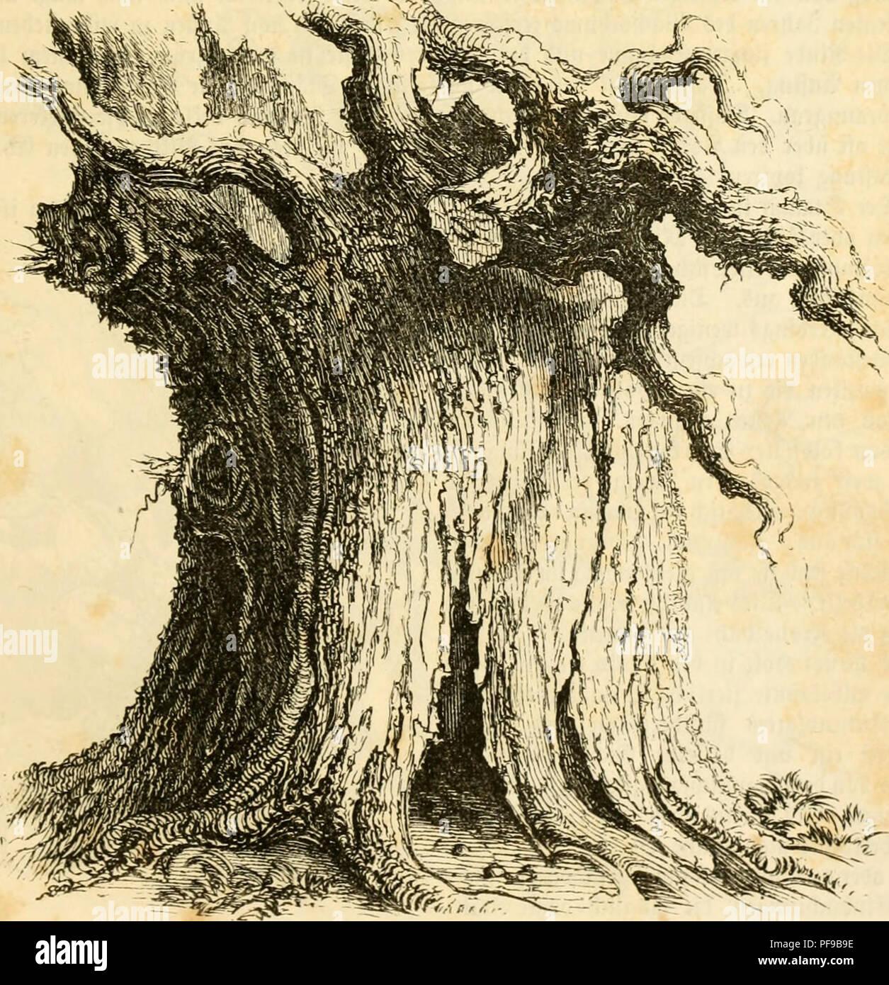 ". Deutsche Waldbäume und ihre Physiognomie. Trees. 21 iscvinai' i(no xiqm', fraftii^^ ÄoiiftitutuMi, ^urdl '^lltcv imt» 3oit »v'^HMu^t, nidn axid) tie fitcifcntc .*cbotis?fiift n fcffdn, Dami tväilt- nnc bei fräftuicn 'Wciifclu-n, Tai? 'Oaiivt ^iicrft tiVo ,V""iclH""ii reo WrctKiialtcrci. VHllmäMifb bleibt tiVo fonft jäbvlicb ^uri'irftebrcnto Vaub an ton cbcvcn iinf äufjcvftcii'Jtcftcn auc>, nnt crft nacb mit luid' ftn'bcn Mo imun-on cMni OUictcv ab. Sod^ norti fdbft tcö ^^*aubfdnmirfo beraubt, verleiben Me nacften ^Hefte tem fräftiyV'"" '-Baume einen vittoreöfen C^ffeft. 3n - Stock Image"