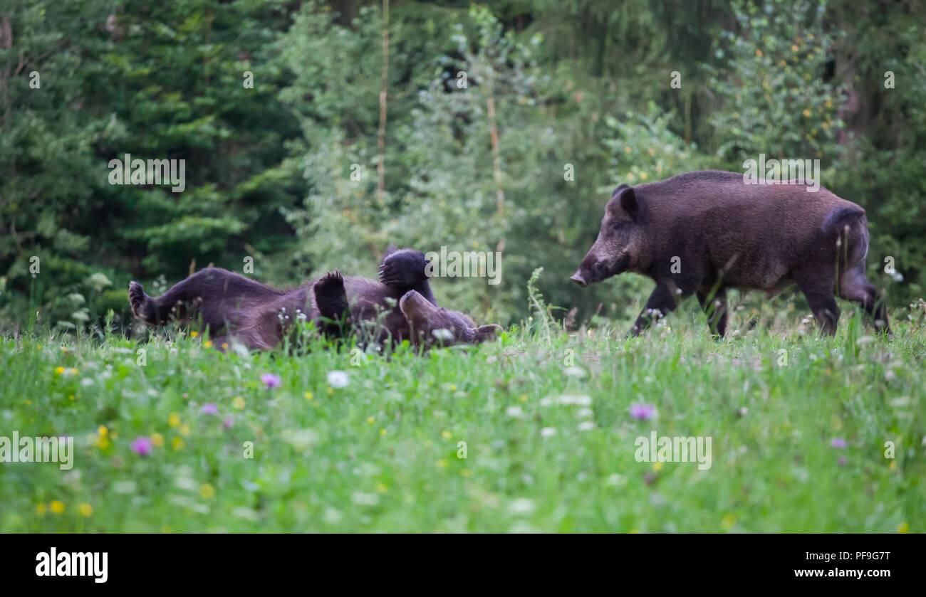 Wild boar (sus scrofa ferus) walking in summer field - Stock Image