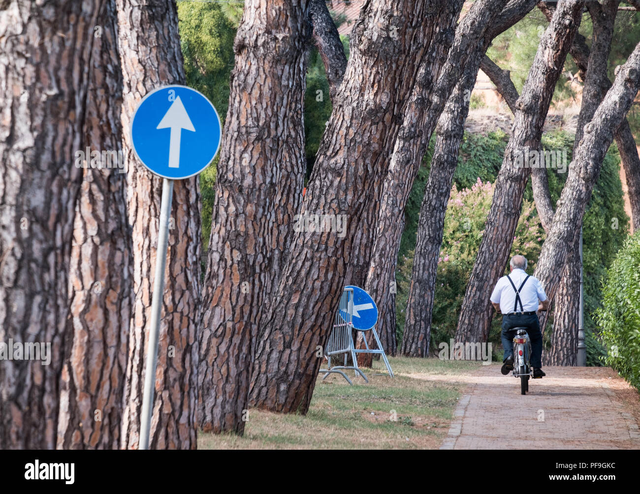 Man cycling along thick trunked tree lined on one way path wearing braces. Castel San Pietro Terme Italy, Europe. - Stock Image