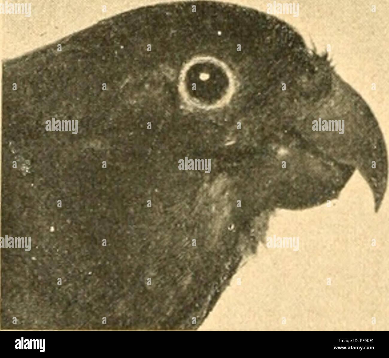 . De vogels van Guyana (Suriname, Cayenne en Demerara). Birds. 5^4 psittacid.ï:. een, in de lagere streken talrijk voorkomende boomsoort. In gevangen staat kan men ze, met deze vruchten gevoed, ge- ruimen tijd in leven houden, maar zoover ik kan oordeelen, niet het praten aanleeren. Zij worden echter uiterst tam en vliegen dan overal rond, om, zoodra men hen een vruchtje toehoudt, er op af te dalen. Over hun voortteling is mij niets bekend. U. purpurata, Gm. =^ Psitfactisp., Cab. in ScJioiiib. Reis. = Psittaciila /., Schlegal, Ahis. P. B. rf Groen; ond.d. lichter van lint; bovenkop olijfbniin; - Stock Image