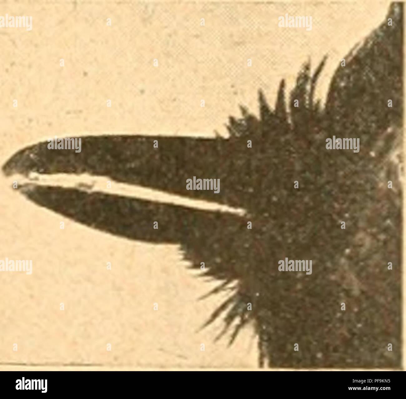 Ant Shrike Stock Photos & Ant Shrike Stock Images - Alamy