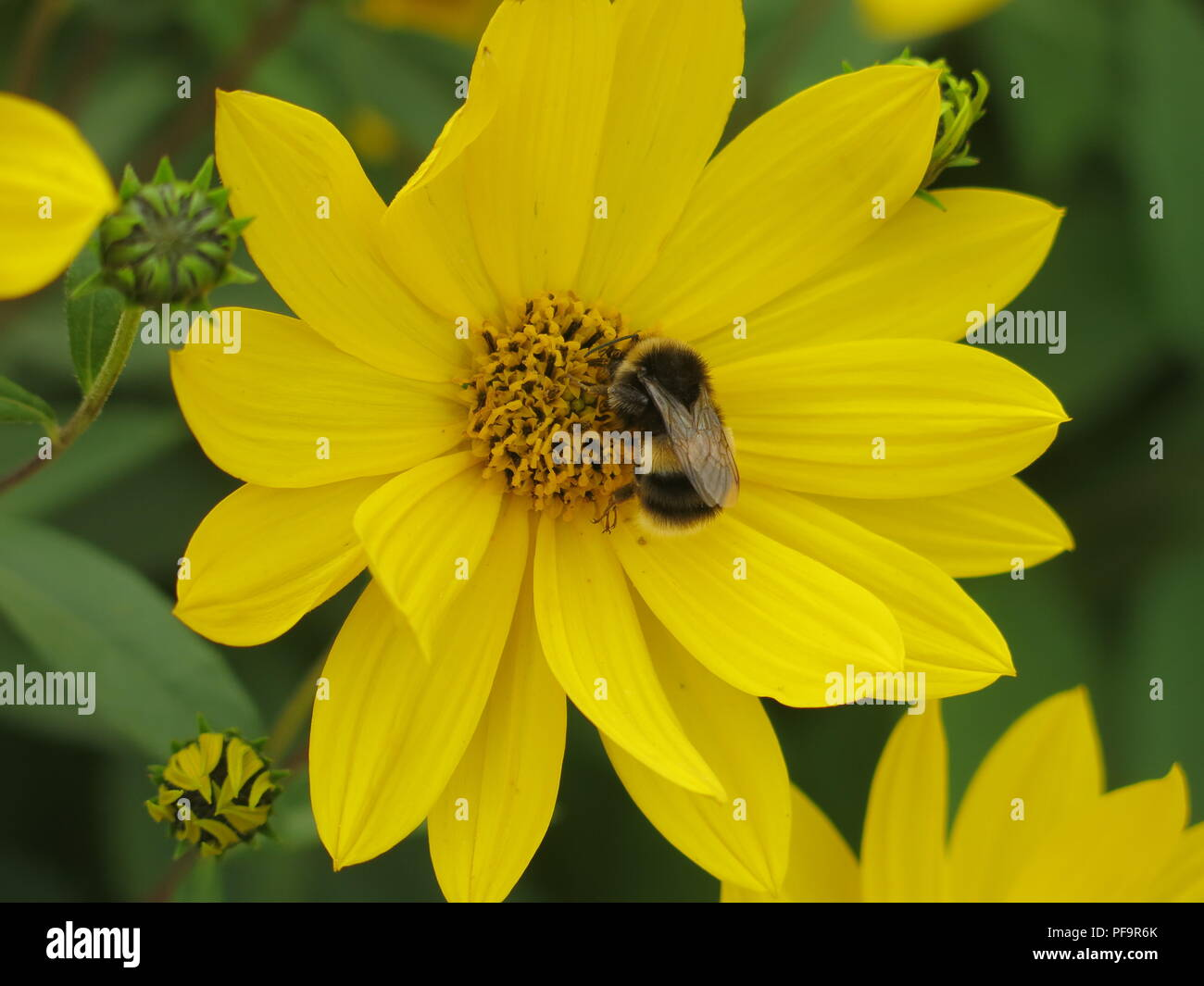 Close-up of a bumble bee searching for nectar, alighted on the centre of a yellow-petalled summer plant - Stock Image