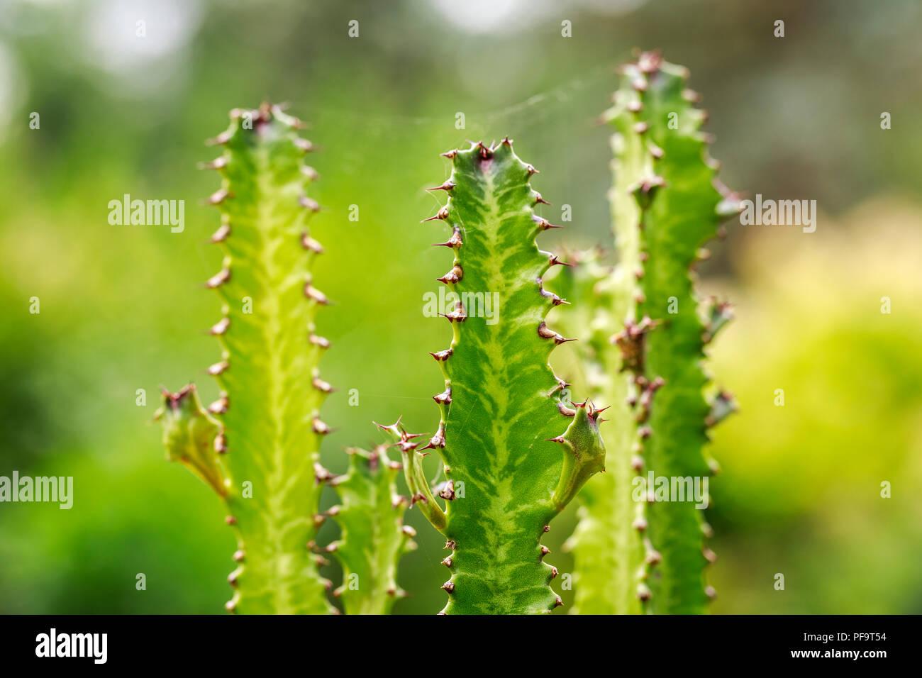 Jade Tiger Cactus, Euphorbia trigona, close up - Stock Image