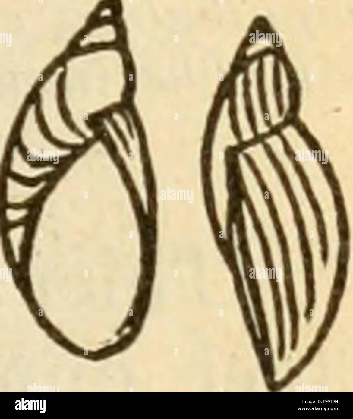. Deutsche excursions-mollusken-fauna. Mollusks. 289 2. Succinea Pfeifferi^ Rossmässler.. Succinea Pfeifferi, Rossin., Icon. fig. 46. — — Kobelt, Nassau p. 162 t. 3 fig. 2. — Slavik, Bölinien p. 94 t. 1 fig. 3. 4. Amphihulina putris var. fulva et derogata, Hartm., in Sturm, Fauna VI. 8. t. 6 u. 7. Tapada putris, Studer, Kurz. Verz. p. 86. Anatomie: Lehmann, Stettin p. 54 t. 9 fig. 14. Thier: gewöhnlich dunkler, als jenes der vorstehen- den Art. Gehäuse: länglich-eiförmig, schwach gestreift, ziemlich festschalig, durchsichtig, glänzend, bernsteinfarben, Um- gänge 3, wenig gewölbt, ein kurzes, z Stock Photo