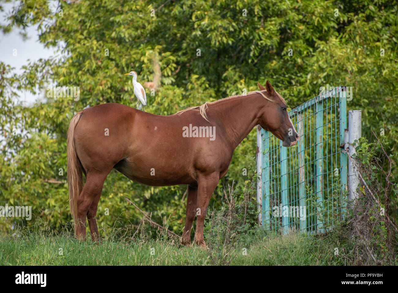 A horse shows no concern that a cattle egret is perched on her. - Stock Image