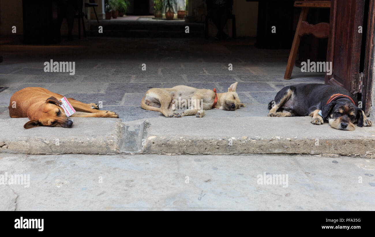 Street dogs snoozing in an entrance in Havana, Cuba - Stock Image