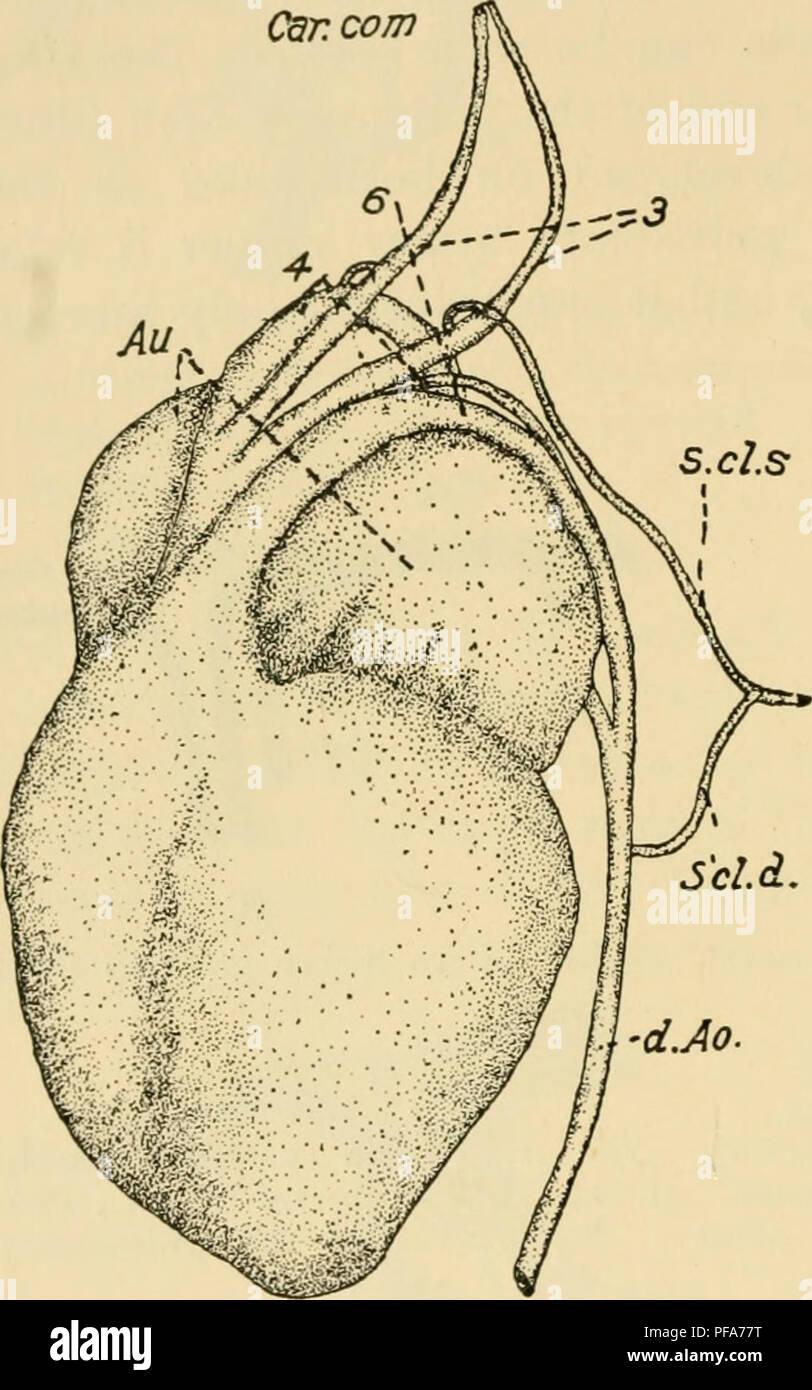 Subclavian Artery Stock Photos & Subclavian Artery Stock Images ...