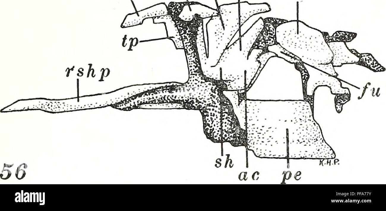 The development of the pectoral limb of Necturus maculosus ...