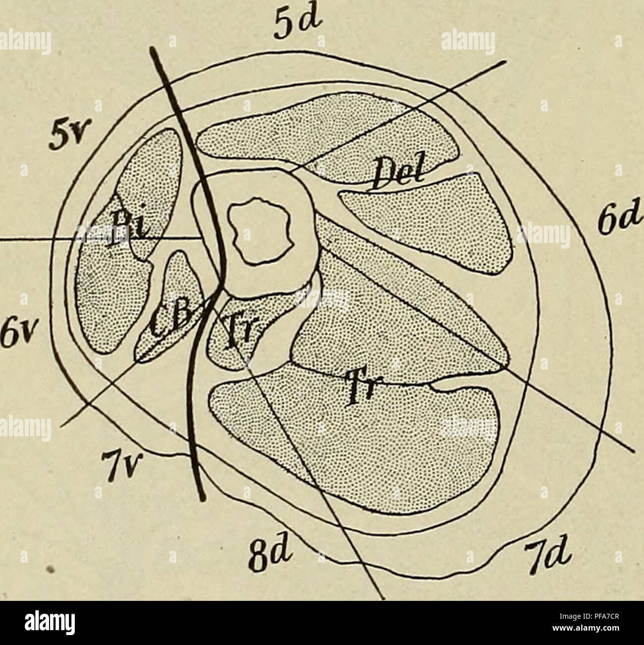 The Development Of The Human Body A Manual Of Human Embryology