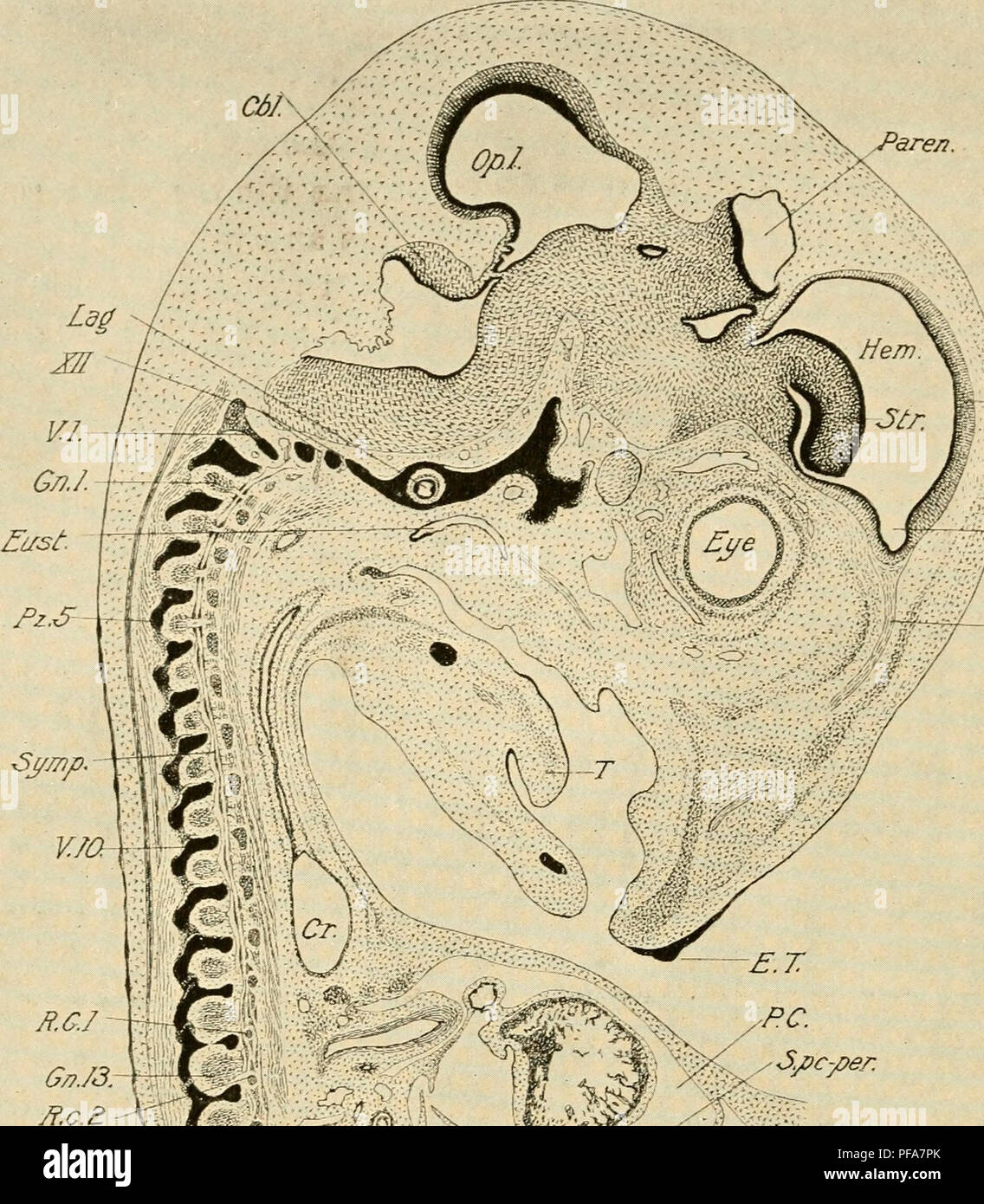 . The development of the chick; an introduction to embryology. Birds -- Embryology. 250 THE DEVELOPMENT OF THE CHICK. -M. OJf.l. Olf.N. / /yy# ) // X ^'30 Fig. 150. — Lateral sagittal section of an embryo of 8 days. Right side of the body. All. N., Neck of the allantois. Cbl., cerebelkim. Cr., Crop. E. T., Egg. Please note that these images are extracted from scanned page images that may have been digitally enhanced for readability - coloration and appearance of these illustrations may not perfectly resemble the original work.. Lillie, Frank Rattray, 1870-1947. New York, Holt - Stock Image