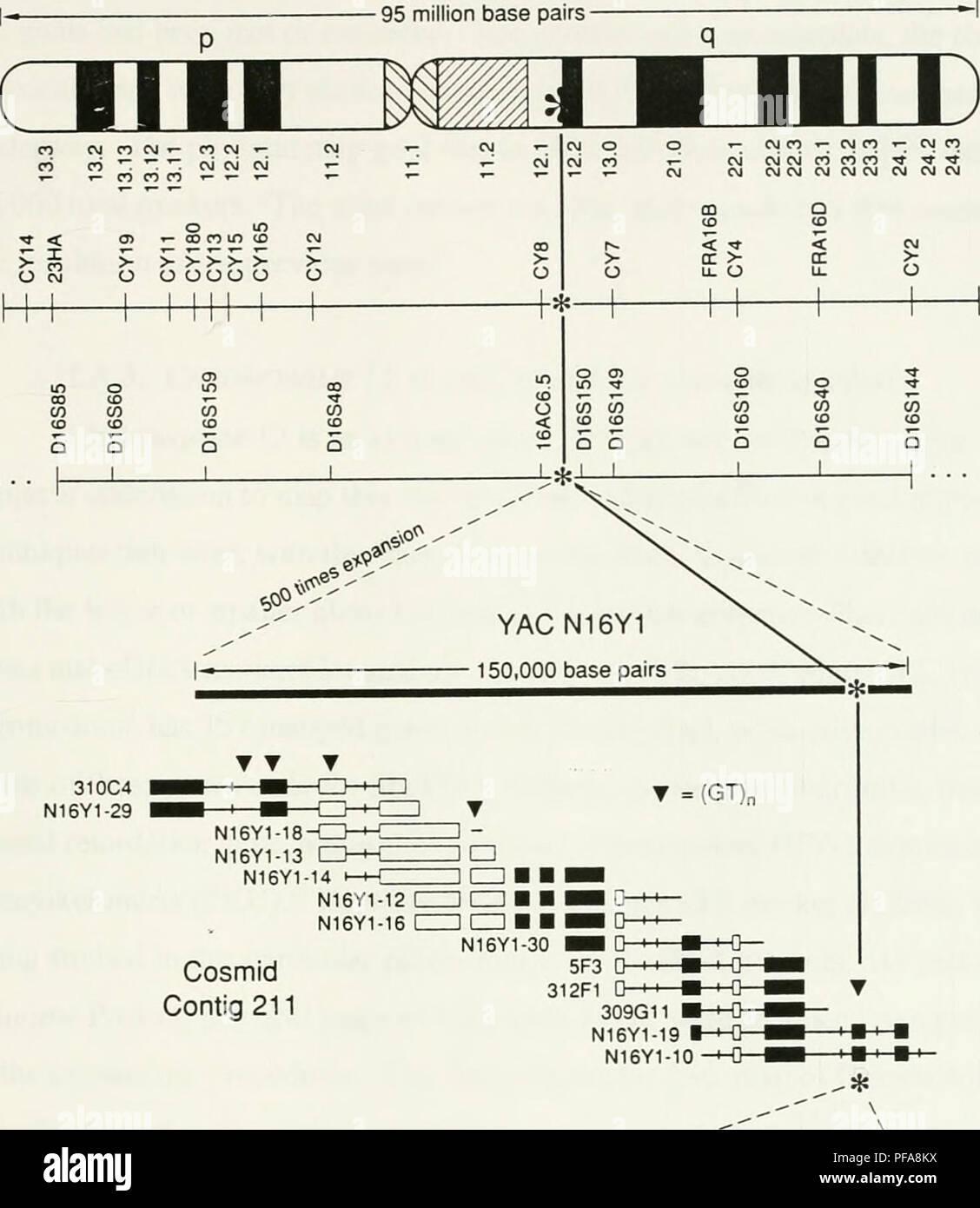 the development of a cosmid map of chromosome 12p13 sweet briar