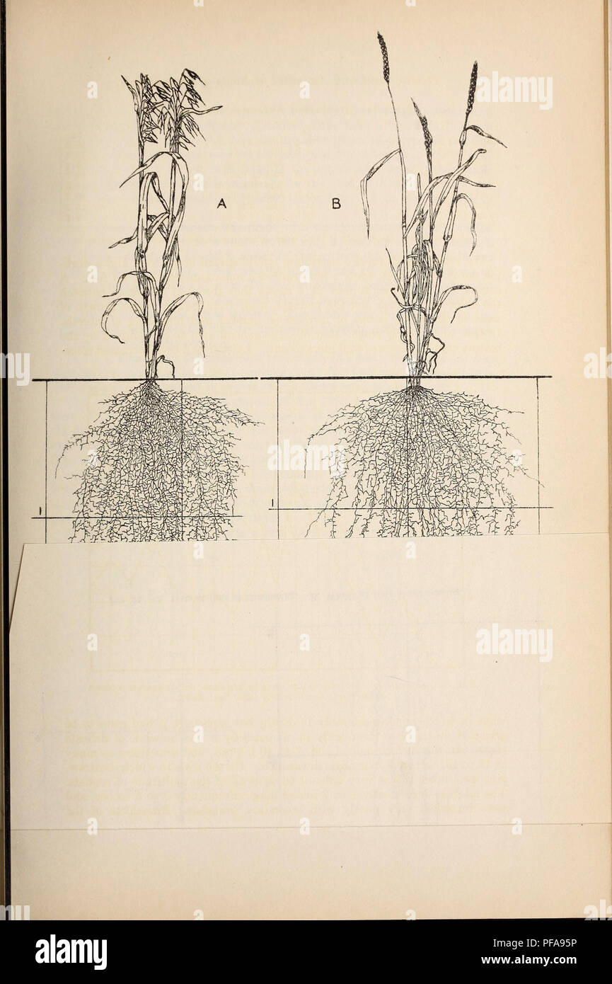 . Development and activities of roots of crop plants; a study in crop ecology. Roots (Botany); Plant ecology; Crops and climate. . Please note that these images are extracted from scanned page images that may have been digitally enhanced for readability - coloration and appearance of these illustrations may not perfectly resemble the original work.. Weaver, John E. (John Ernest), 1884-1966; Jean, Frank Covert, 1880- joint author; Crist, John W. , joint author. Washington, Carnegie Institution of Washington Stock Photo