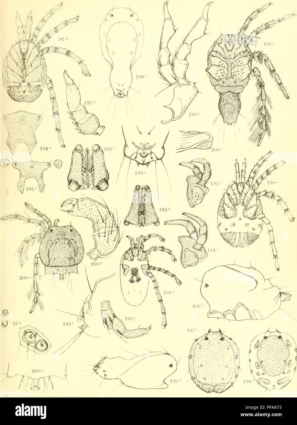 . Deutschlands Hydrachniden. Hydrachnidae; Mites. Zoologica XXII. iaf. LI.. R. Kersig ad nat. dcl. Verlag von Erwin Nägele in Stuttgart.. Please note that these images are extracted from scanned page images that may have been digitally enhanced for readability - coloration and appearance of these illustrations may not perfectly resemble the original work.. Piersig, R. Stuttgart : E. Nägele - Stock Image