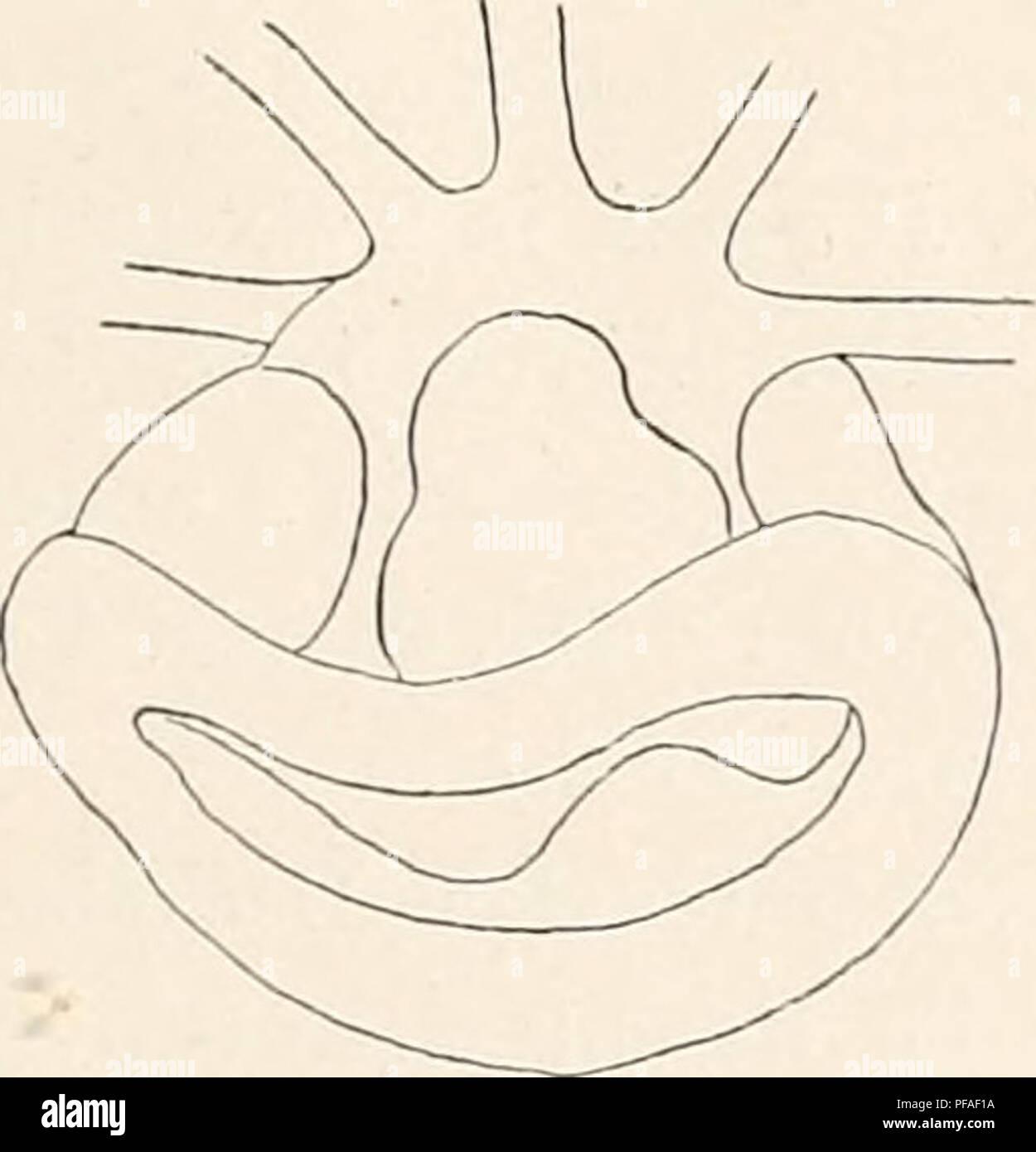 . Deutsche Südpolar-Expedition, 1901-1903, im Auftrage des Reichsamtes des Innern. Gauss (Ship); Scientific expeditions; Antarctica. Vanhöffen, Craspedote Medusen. 377 im Innern des Magens sind noch, weitere solcher Blättchen vorhanden, welche die Magenwand schuppenartig bekleiden (Textfig. 11). Getrennt vom Magen hängen im oberen Teil der Radiärkanäle die Gonaden herab als keulen- förmige Säcke von 2,5 mm Breite und 6,5 mm Länge, wodurch unsere Art an eine Leptomeduse erinnert. Zur Aufstellung einer besonderen Gattung liegt trotz der eigentümlichen Lage der Gonaden keine Veranlassung vor, da  Stock Photo