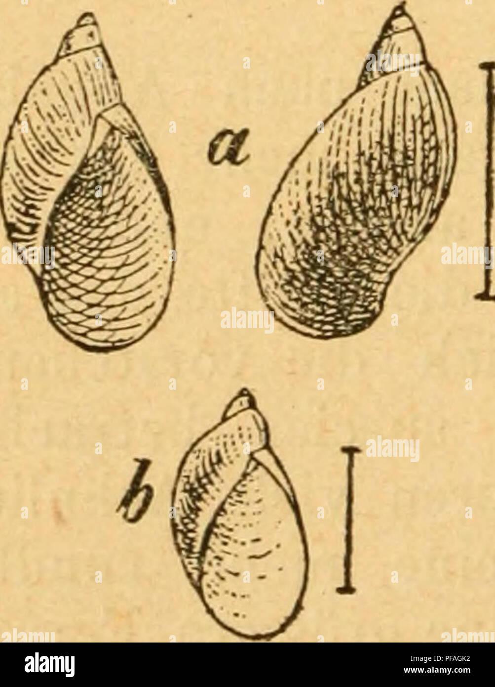 . Deutsche excursions-mollusken-fauna. Mollusks. 344 / 3. Amphibina Pfeif/eri, Bossmaessler. Succinea Pfeifferi, Rossm. Icon. fig. 46. — — Kobelt, Nassau p. 162 t. 3 fig. 2. — Slavik, Böhmen p. 94 t. 1 fig. 3. 4. Amphibulina putris var. fulva et elongata, Hartm. in Sturm Fauna VI. 8 t. 6. u. 7. Tapaäa putris, Studer, Kurz. Verz. p. 86. Anatomie: Lehmann, Stettin p. bi t. 9 fig. 14. Thier: gewöhnlich dunkler als bei der vorigen Art; Kiefer hornig, mehr lang als breit, dunkelgelb; Mittelplatte mit einem ziemlich starken zugespitzten Mittelzähnchen; Seitenflügel schief, aber nicht weit aus einand Stock Photo