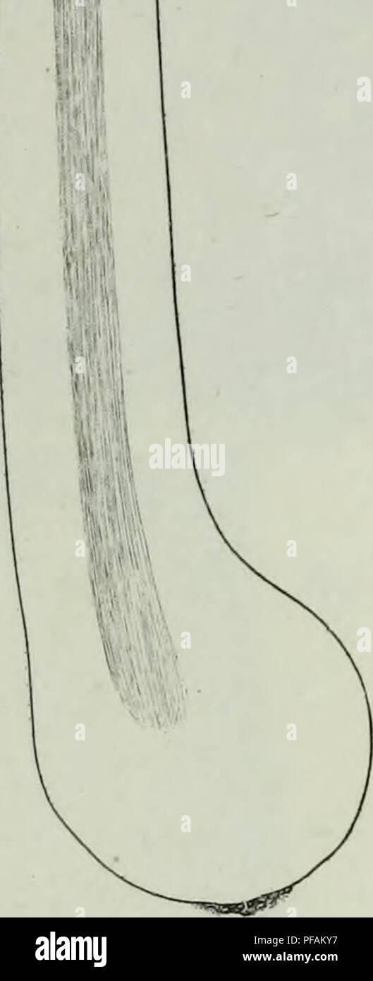 . Descrizione dei funghi mangerecci più comuni dell'Italia e de' velenosi che possono co' medesimi confondersi. Fungi; Mushrooms. Fij.IF.. r ^i Fu,.M. ry. Please note that these images are extracted from scanned page images that may have been digitally enhanced for readability - coloration and appearance of these illustrations may not perfectly resemble the original work.. Vittadini, Carlo; Cavagna Sangiuliani di Gualdana, Antonio, conte, 1843-1913, former owner. IU-R. Milano, Rusconi - Stock Image