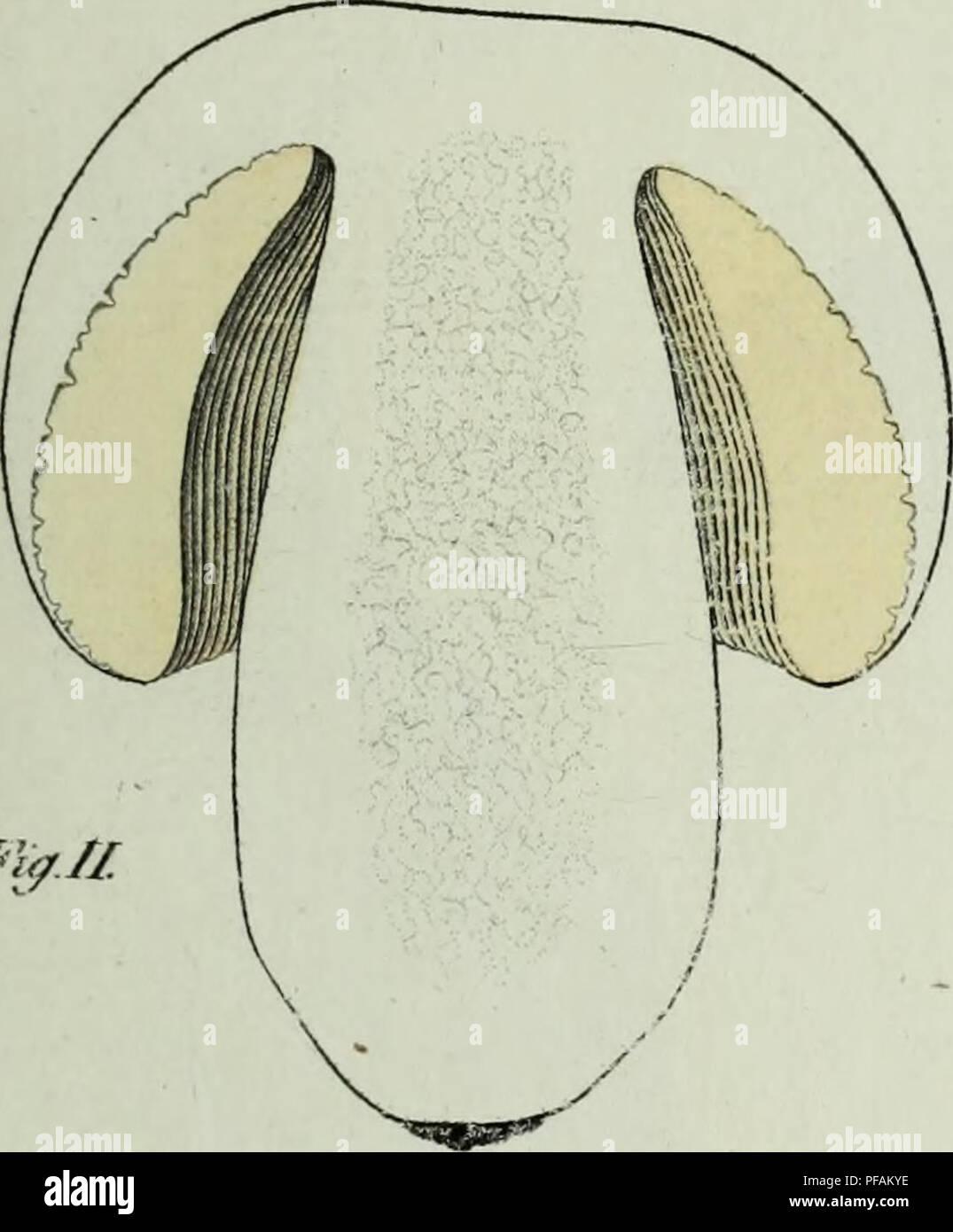. Descrizione dei funghi mangerecci più comuni dell'Italia e de' velenosi che possono co' medesimi confondersi. Fungi; Mushrooms. Mg.pr W^Sta.. IfyJl. Please note that these images are extracted from scanned page images that may have been digitally enhanced for readability - coloration and appearance of these illustrations may not perfectly resemble the original work.. Vittadini, Carlo; Cavagna Sangiuliani di Gualdana, Antonio, conte, 1843-1913, former owner. IU-R. Milano, Rusconi - Stock Image