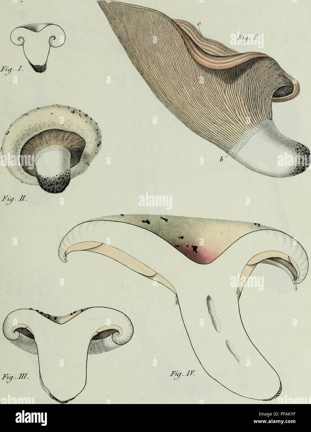 . Descrizione dei funghi mangerecci più comuni dell'Italia e de' velenosi che possono co' medesimi confondersi. Fungi; Mushrooms. T. xxxvn.. r** Irtftit/mi ecc rurtirrtt ( aa/'/et/*/ co7i#rt?v€rtH£*i t lA. Please note that these images are extracted from scanned page images that may have been digitally enhanced for readability - coloration and appearance of these illustrations may not perfectly resemble the original work.. Vittadini, Carlo; Cavagna Sangiuliani di Gualdana, Antonio, conte, 1843-1913, former owner. IU-R. Milano, Rusconi - Stock Image