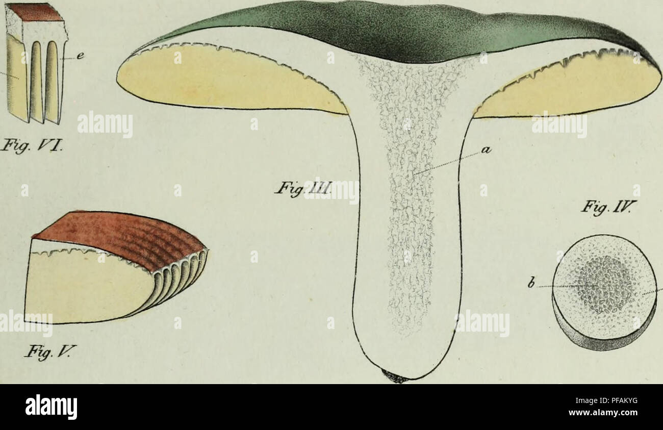 . Descrizione dei funghi mangerecci più comuni dell'Italia e de' velenosi che possono co' medesimi confondersi. Fungi; Mushrooms. T.XXXIF. Mg.pr W^Sta.. Please note that these images are extracted from scanned page images that may have been digitally enhanced for readability - coloration and appearance of these illustrations may not perfectly resemble the original work.. Vittadini, Carlo; Cavagna Sangiuliani di Gualdana, Antonio, conte, 1843-1913, former owner. IU-R. Milano, Rusconi Stock Photo