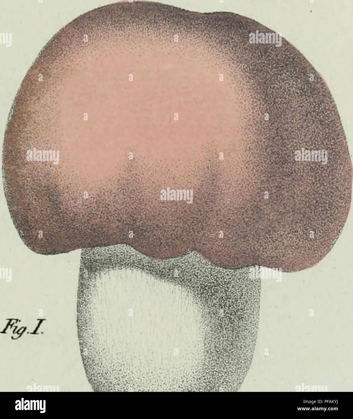 . Descrizione dei funghi mangerecci più comuni dell'Italia e de' velenosi che possono co' medesimi confondersi. Fungi; Mushrooms. IfyJl. â â ,-Â«*»»*. f^i/trifAni t,r natura In / + 6> f ^/// pt c/a/ (zcu fa/e//*/1S/1. Please note that these images are extracted from scanned page images that may have been digitally enhanced for readability - coloration and appearance of these illustrations may not perfectly resemble the original work.. Vittadini, Carlo; Cavagna Sangiuliani di Gualdana, Antonio, conte, 1843-1913, former owner. IU-R. Milano, Rusconi - Stock Image