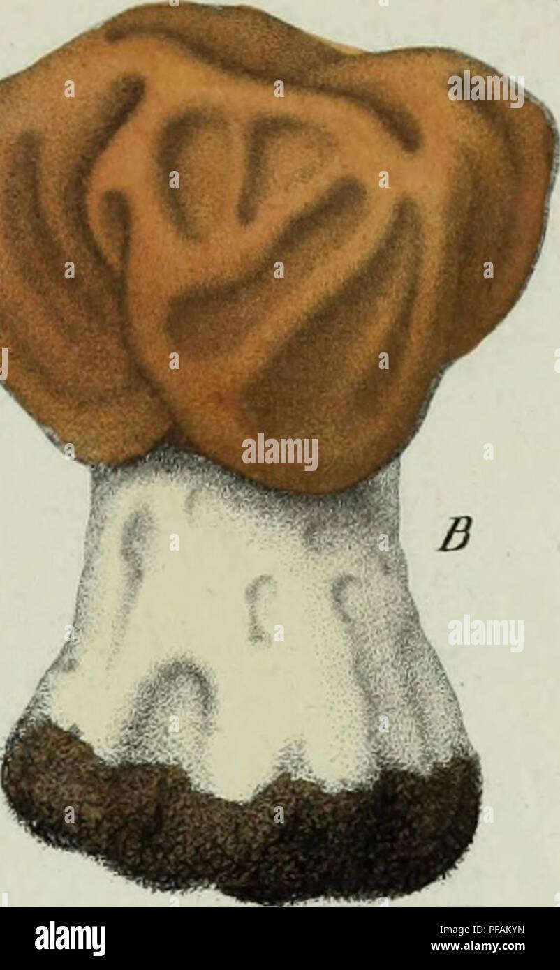 . Descrizione dei funghi mangerecci più comuni dell'Italia e de' velenosi che possono co' medesimi confondersi. Fungi; Mushrooms. L/f^//>^ ei/céu&ri/a. ^L.. FigJI. /.%. Please note that these images are extracted from scanned page images that may have been digitally enhanced for readability - coloration and appearance of these illustrations may not perfectly resemble the original work.. Vittadini, Carlo; Cavagna Sangiuliani di Gualdana, Antonio, conte, 1843-1913, former owner. IU-R. Milano, Rusconi Stock Photo