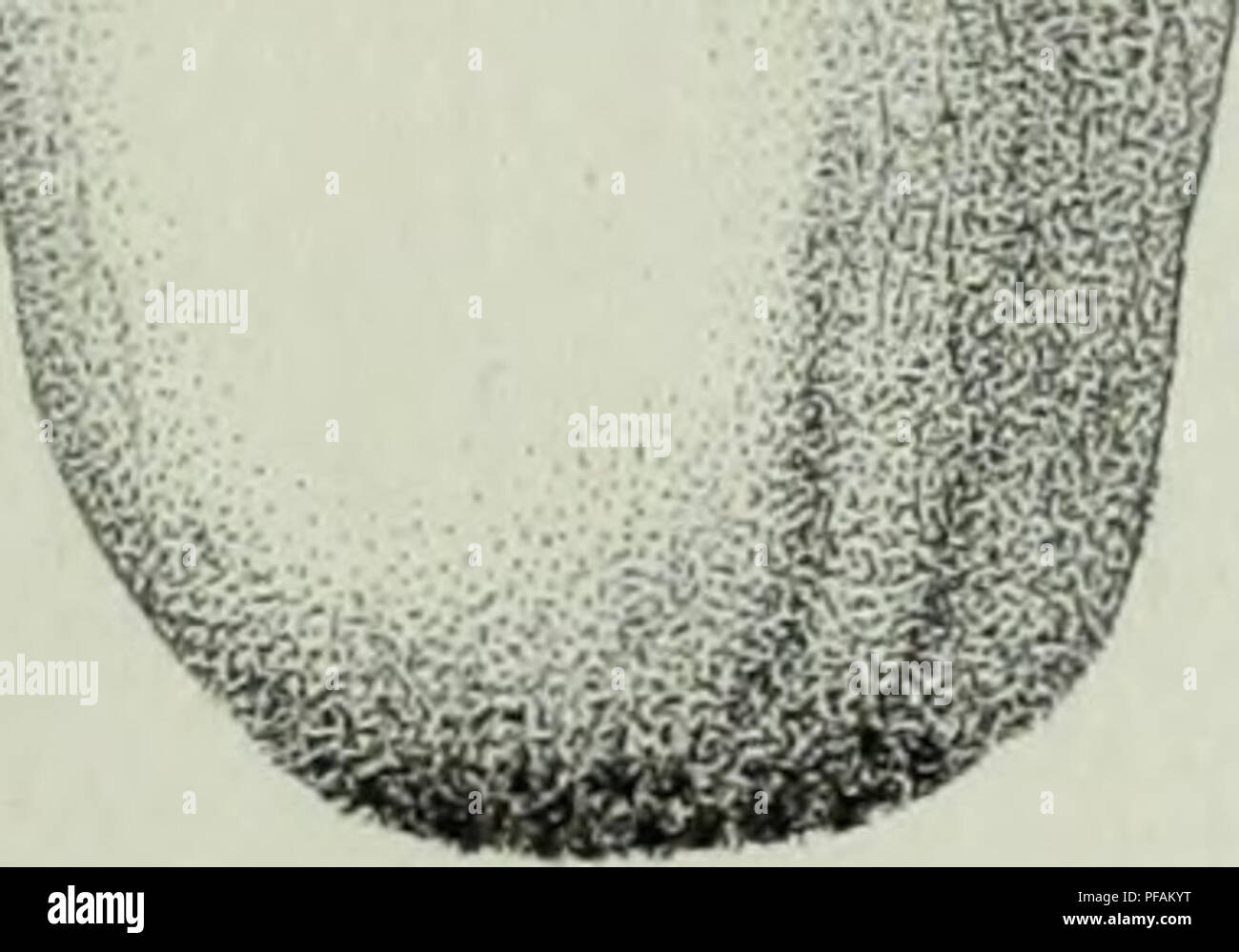 . Descrizione dei funghi mangerecci più comuni dell'Italia e de' velenosi che possono co' medesimi confondersi. Fungi; Mushrooms. m&5 ^ *-*. - ag flfflfl v#'/ Fi9.n1.. Please note that these images are extracted from scanned page images that may have been digitally enhanced for readability - coloration and appearance of these illustrations may not perfectly resemble the original work.. Vittadini, Carlo; Cavagna Sangiuliani di Gualdana, Antonio, conte, 1843-1913, former owner. IU-R. Milano, Rusconi - Stock Image