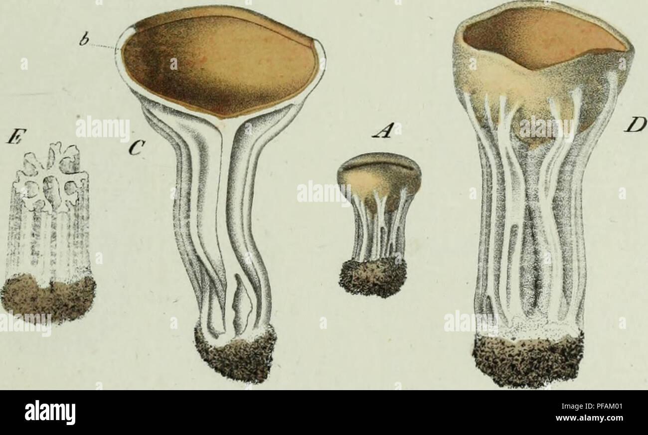 ". Descrizione dei funghi mangerecci più comuni dell'Italia e de' velenosi che possono co' medesimi confondersi. Fungi; Mushrooms. *yweweuas ^^ tJ^ST !&«t 73.  / '//.r,/,'/,, ,.., """"/?,,-"" 9 '/CZ/Z. ^&ce£z&€Ìu#m ^Z(??si.. Please note that these images are extracted from scanned page images that may have been digitally enhanced for readability - coloration and appearance of these illustrations may not perfectly resemble the original work.. Vittadini, Carlo; Cavagna Sangiuliani di Gualdana, Antonio, conte, 1843-1913, former owner. IU-R. Milano, Rusconi - Stock Image"