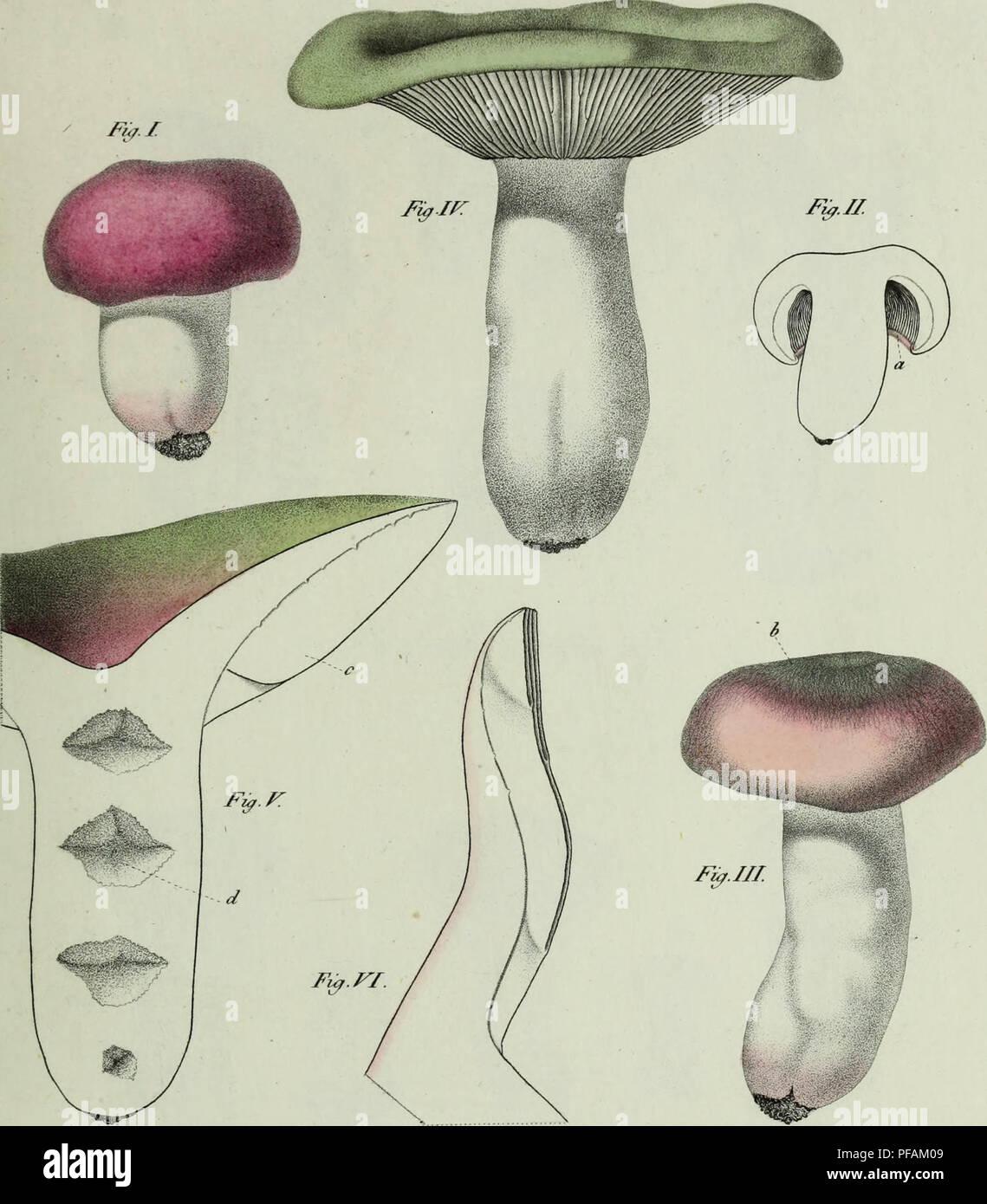 . Descrizione dei funghi mangerecci più comuni dell'Italia e de' velenosi che possono co' medesimi confondersi. Fungi; Mushrooms. ù â A J Txxvu.. v   ^H&i ^> â f^i/Tii/ùtii e,Y rutterà . r ( /7/W6&6/ n^6^-/l/l(/{UlJ tjfy:. Please note that these images are extracted from scanned page images that may have been digitally enhanced for readability - coloration and appearance of these illustrations may not perfectly resemble the original work.. Vittadini, Carlo; Cavagna Sangiuliani di Gualdana, Antonio, conte, 1843-1913, former owner. IU-R. Milano, Rusconi - Stock Image