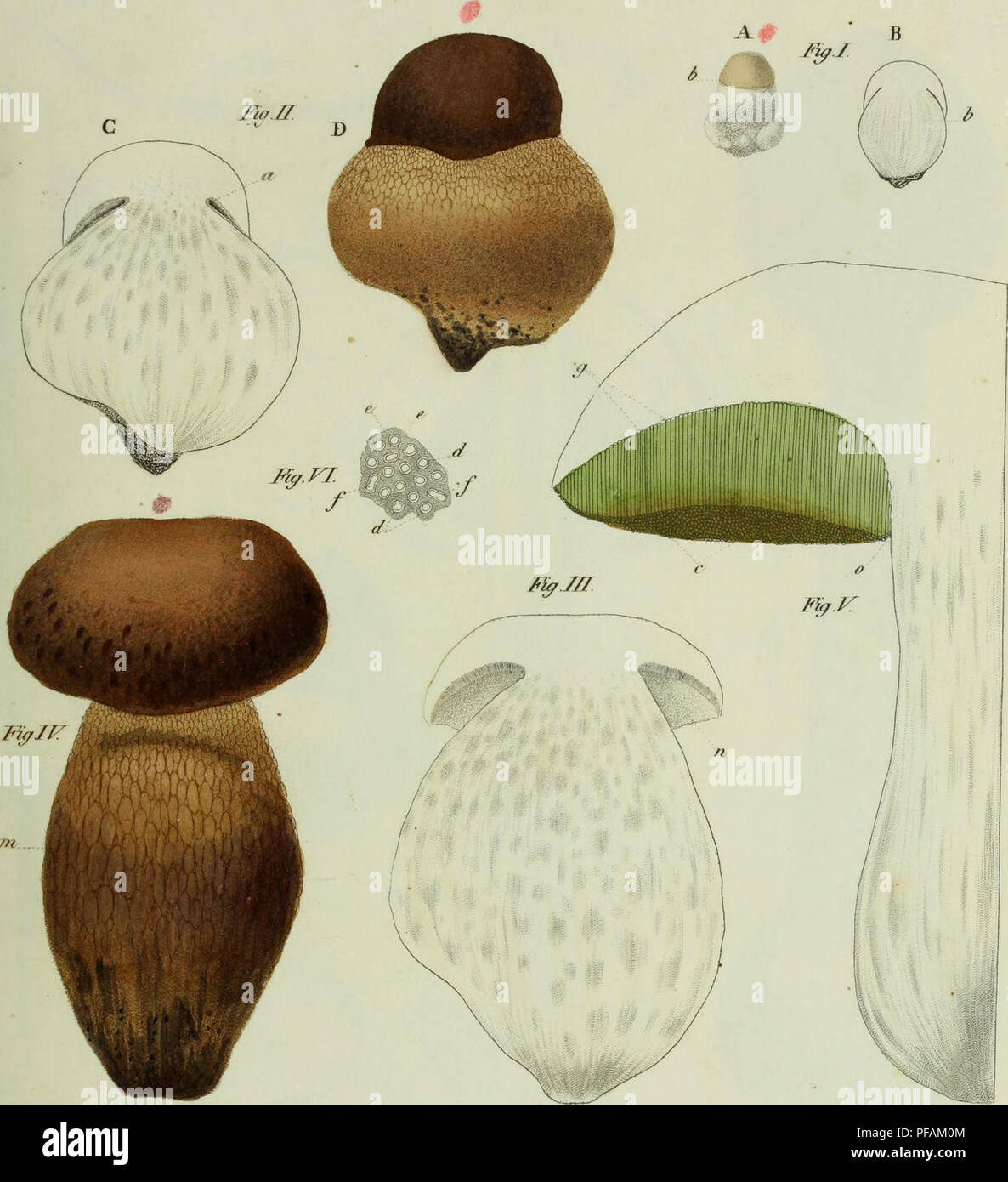 . Descrizione dei funghi mangerecci più comuni dell'Italia e de' velenosi che possono co' medesimi confondersi. Fungi; Mushrooms. - l VX//. / ttf*r<//ni axt nstfltra <. ^/f'/f///j r<â /////.) !. Please note that these images are extracted from scanned page images that may have been digitally enhanced for readability - coloration and appearance of these illustrations may not perfectly resemble the original work.. Vittadini, Carlo; Cavagna Sangiuliani di Gualdana, Antonio, conte, 1843-1913, former owner. IU-R. Milano, Rusconi - Stock Image