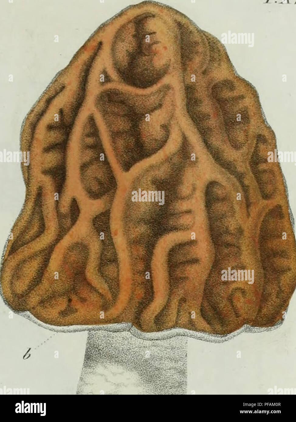 . Descrizione dei funghi mangerecci più comuni dell'Italia e de' velenosi che possono co' medesimi confondersi. Fungi; Mushrooms. 7/.r// Fu/Jf.. T&fniÃ. Please note that these images are extracted from scanned page images that may have been digitally enhanced for readability - coloration and appearance of these illustrations may not perfectly resemble the original work.. Vittadini, Carlo; Cavagna Sangiuliani di Gualdana, Antonio, conte, 1843-1913, former owner. IU-R. Milano, Rusconi - Stock Image