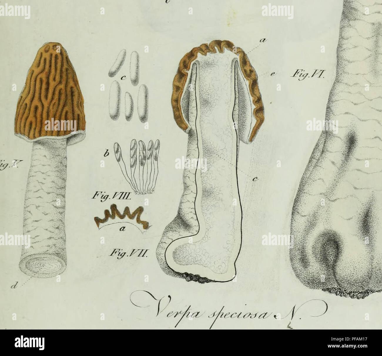. Descrizione dei funghi mangerecci più comuni dell'Italia e de' velenosi che possono co' medesimi confondersi. Fungi; Mushrooms. T&fniÃ. FVa.PT V / ìlleuli?ii. oc /iri/ura ,Â«Â«l»^; X. Please note that these images are extracted from scanned page images that may have been digitally enhanced for readability - coloration and appearance of these illustrations may not perfectly resemble the original work.. Vittadini, Carlo; Cavagna Sangiuliani di Gualdana, Antonio, conte, 1843-1913, former owner. IU-R. Milano, Rusconi Stock Photo