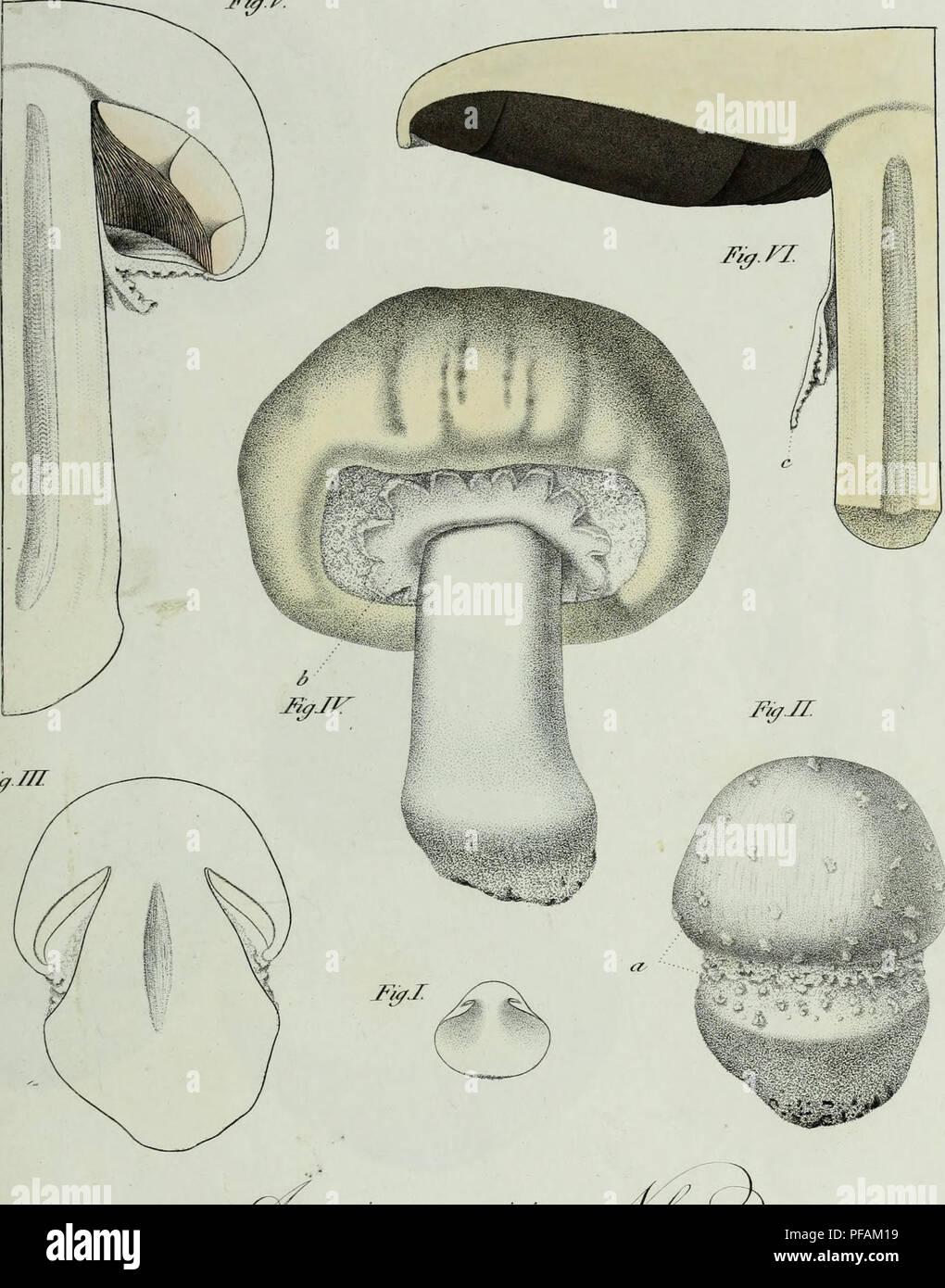 . Descrizione dei funghi mangerecci più comuni dell'Italia e de' velenosi che possono co' medesimi confondersi. Fungi; Mushrooms. 1 T.xmi. jr&jr. FìyJTI QJ-' (3a a rie*/.' eauT/UtJ^faj t_ '<?v â f^ìrttziijti* r.2- n&t&rei. Please note that these images are extracted from scanned page images that may have been digitally enhanced for readability - coloration and appearance of these illustrations may not perfectly resemble the original work.. Vittadini, Carlo; Cavagna Sangiuliani di Gualdana, Antonio, conte, 1843-1913, former owner. IU-R. Milano, Rusconi - Stock Image