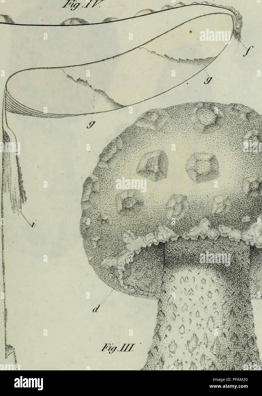 . Descrizione dei funghi mangerecci più comuni dell'Italia e de' velenosi che possono co' medesimi confondersi. Fungi; Mushrooms. Zf. Tur.. Please note that these images are extracted from scanned page images that may have been digitally enhanced for readability - coloration and appearance of these illustrations may not perfectly resemble the original work.. Vittadini, Carlo; Cavagna Sangiuliani di Gualdana, Antonio, conte, 1843-1913, former owner. IU-R. Milano, Rusconi - Stock Image