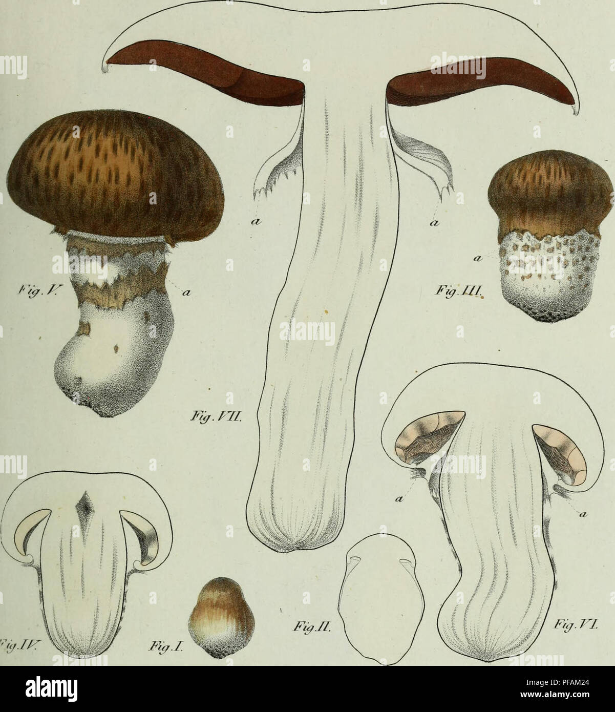 ". Descrizione dei funghi mangerecci più comuni dell'Italia e de' velenosi che possono co' medesimi confondersi. Fungi; Mushrooms. / â -££ T.17/Z. '""'. 7- m- <r.r nalufa. Please note that these images are extracted from scanned page images that may have been digitally enhanced for readability - coloration and appearance of these illustrations may not perfectly resemble the original work.. Vittadini, Carlo; Cavagna Sangiuliani di Gualdana, Antonio, conte, 1843-1913, former owner. IU-R. Milano, Rusconi - Stock Image"