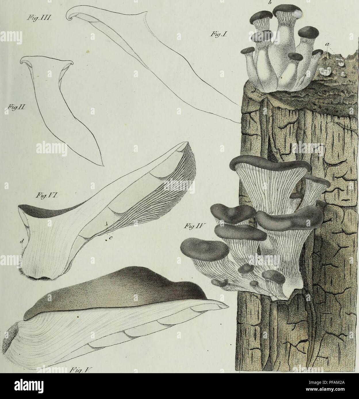 ". Descrizione dei funghi mangerecci più comuni dell'Italia e de' velenosi che possono co' medesimi confondersi. Fungi; Mushrooms. Tft. ""***V F&. / < Pz&atUra aa //rr/ì/r,T. Please note that these images are extracted from scanned page images that may have been digitally enhanced for readability - coloration and appearance of these illustrations may not perfectly resemble the original work.. Vittadini, Carlo; Cavagna Sangiuliani di Gualdana, Antonio, conte, 1843-1913, former owner. IU-R. Milano, Rusconi - Stock Image"