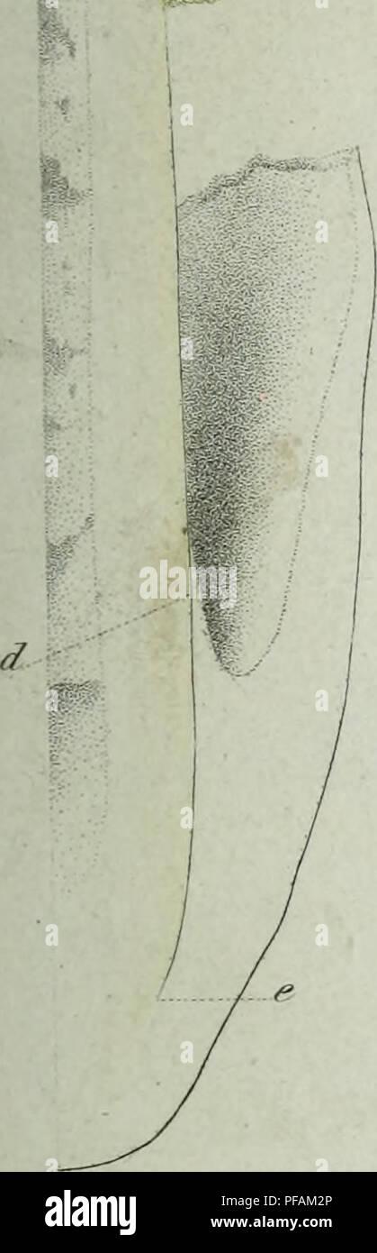 . Descrizione dei funghi mangerecci più comuni dell'Italia e de' velenosi che possono co' medesimi confondersi. Fungi; Mushrooms. F?</.f. 'â : .' fì^/7.. Please note that these images are extracted from scanned page images that may have been digitally enhanced for readability - coloration and appearance of these illustrations may not perfectly resemble the original work.. Vittadini, Carlo; Cavagna Sangiuliani di Gualdana, Antonio, conte, 1843-1913, former owner. IU-R. Milano, Rusconi - Stock Image