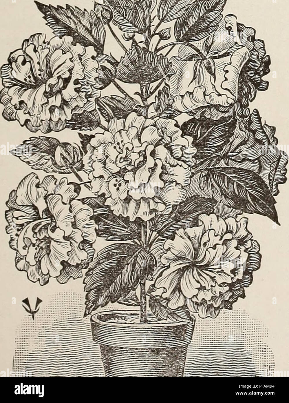Descriptive Trade List Spring 1904 Of Roses Cannas And Plants