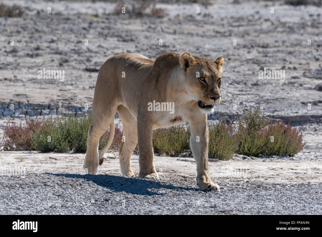 Lioness growling and showing teeth while walking on dry plain - Stock Image