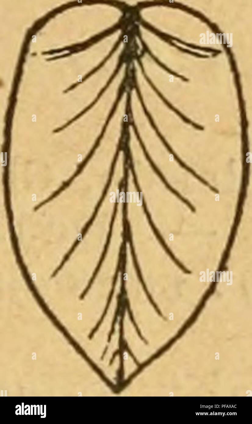 . Deutsche excursions-mollusken-fauna. Mollusks. Sph. mamillanum. Übergehend; Unterrand wenig gewölbt; Ligament kurz, bräunlich, überbaut; Perlmutter schwach, weisslich; Schloss- leiste schmal, die Cardinalzähne füllen die ganze Breite der- selben aus; Schloss fein. — Linke Schale: Cardinalzähne 2; der äussere lang, gleichförmig gebogen, den inneren fast ganz umfassend, niedrig; der innere stärker, dessen hintere Schenkel länger als der vordere, Oberfläche scharf; Rinne zwischen beiden laug und enge, nach hinten etwas erwei- tert ; Seitenzähne einfach, stark, ziemlich hoch und zugespitzt. — Re - Stock Image