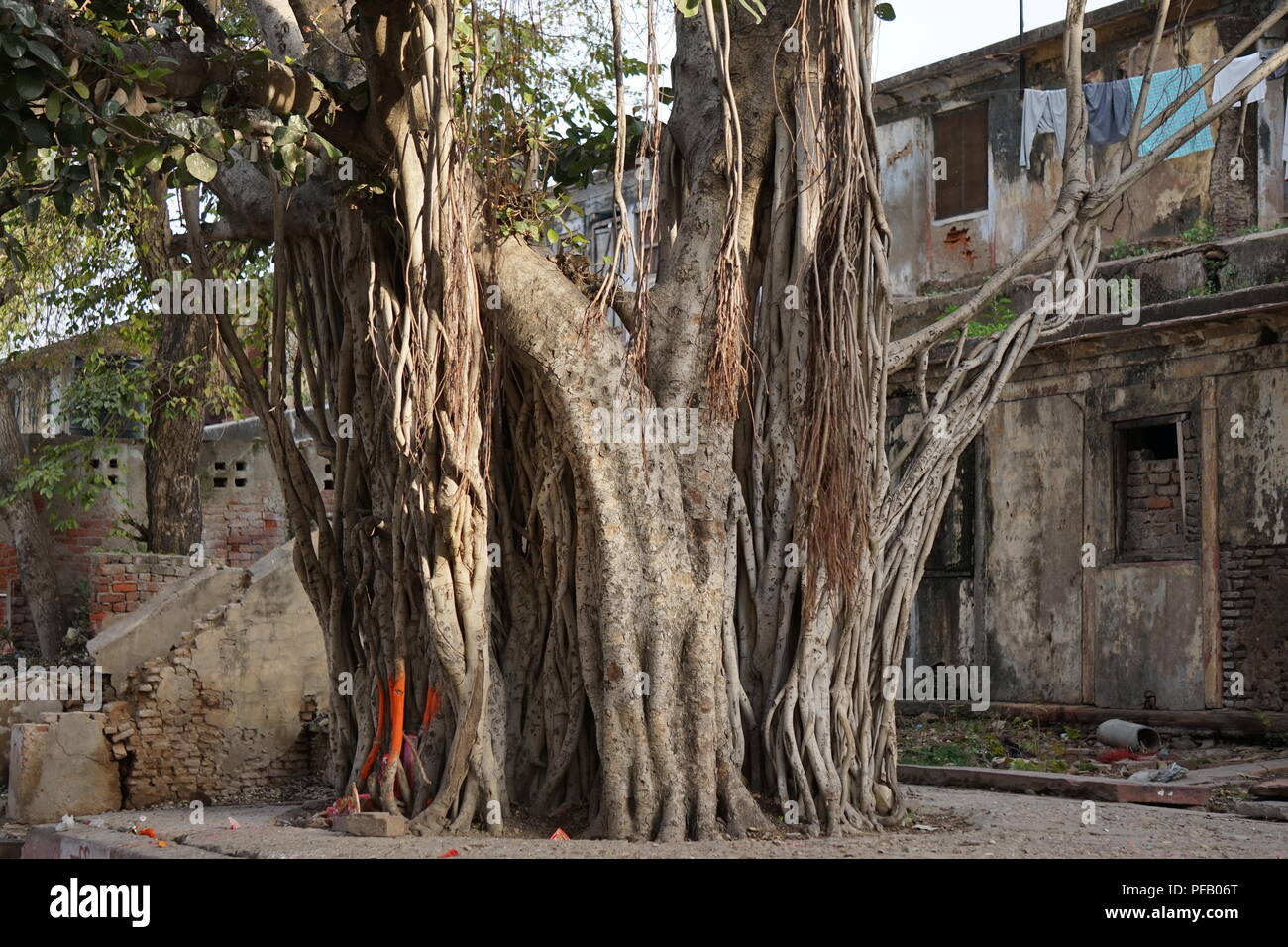 Large tree in the Bharatpur city in India - Stock Image