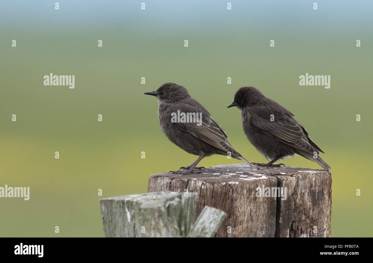 A pair of Common juvenile Starlings - Sturnus vulgaris perched on a fence post. - Stock Image
