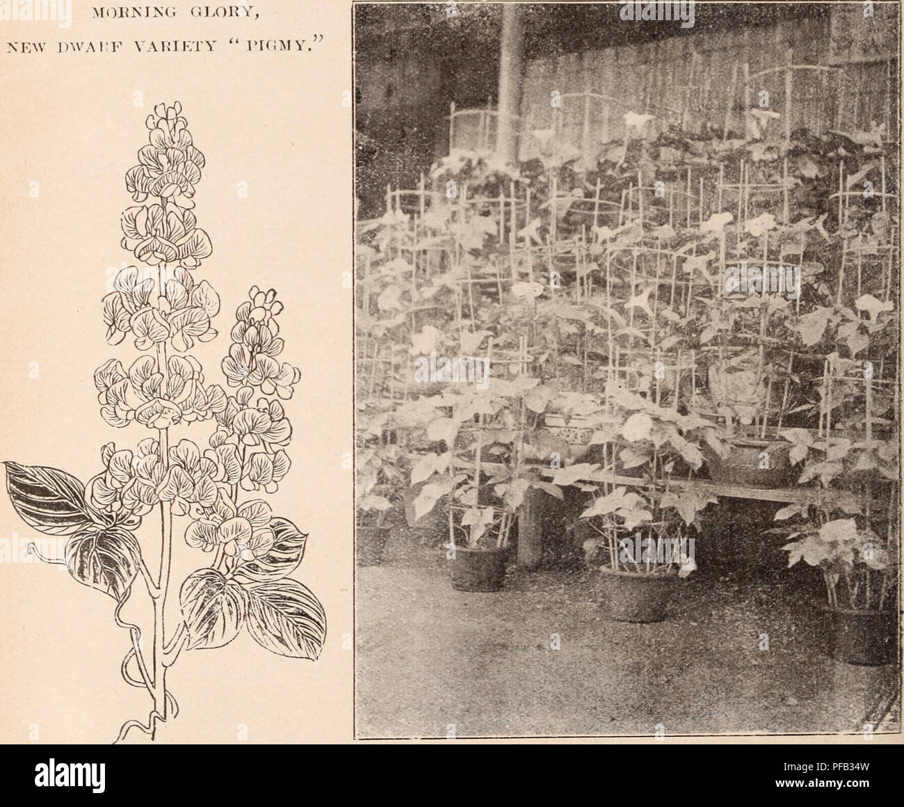 ". Descriptive catalogue of flowering, ornamental trees, shrubs, bulbs, herbs, climbers, fruit trees, &c., &c., &c. / for sale by the Yokohama Nursery Co., Limited.. Nursery Catalogue. p<n- pouivl. New Dwarf Pigmy $2.00 "" per packet 50 Now Giant variety, iimnense large flower 1.50 IJest Double of assorted colours.... 3.50 Yellow colour, siiig^lc rare, pc r pkt. .75 Hest siugie fringed petals 70 Dest single 35 Doliclios Lablab Daylight "" 50 "" scarlet GO MOEI^I.NG (J LORY, NEAV 1)WA1:F VArUILTY "" rKIMV. DOWGHO^ LABLAB. "" Daylight.'» MORNING GLORY CCT/riVATE - Stock Image"