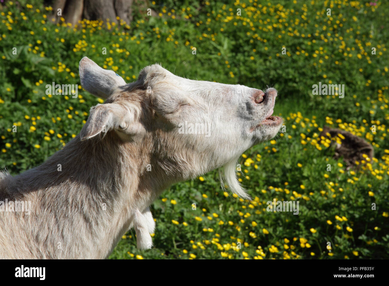 Goat face - Stock Image