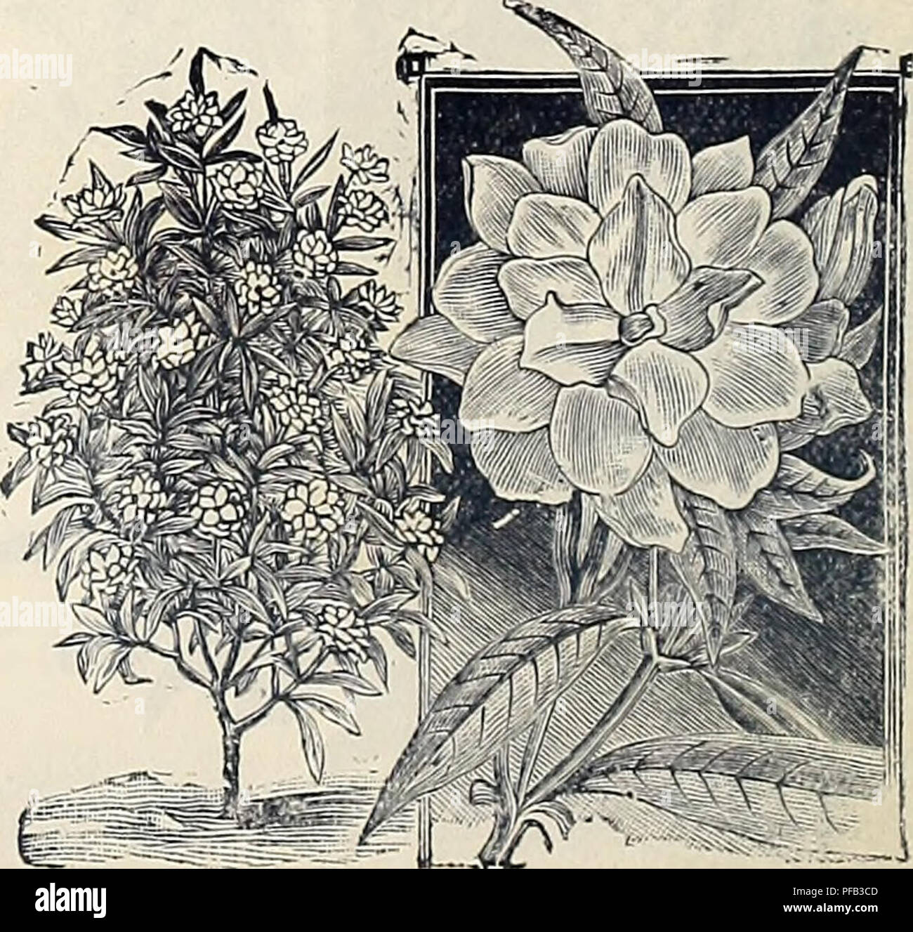Descriptive And Illustrated Catalogue Of Fruit Trees Ornamental
